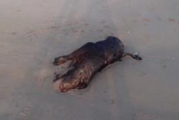 M5S Fondi denuncia i gravi episodi di bufali soppressi e abbandonati a cielo aperto