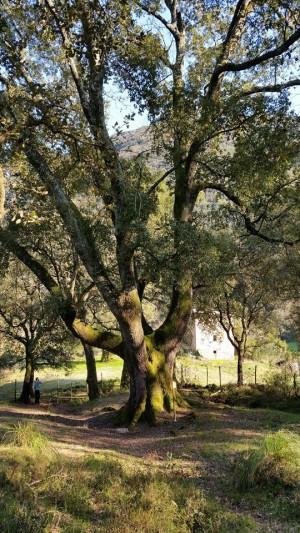 Uno dei più antichi alberi della Sughereta